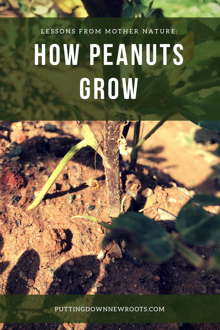 A quick guide to what it's like to grow peanuts and what I learned along the way.