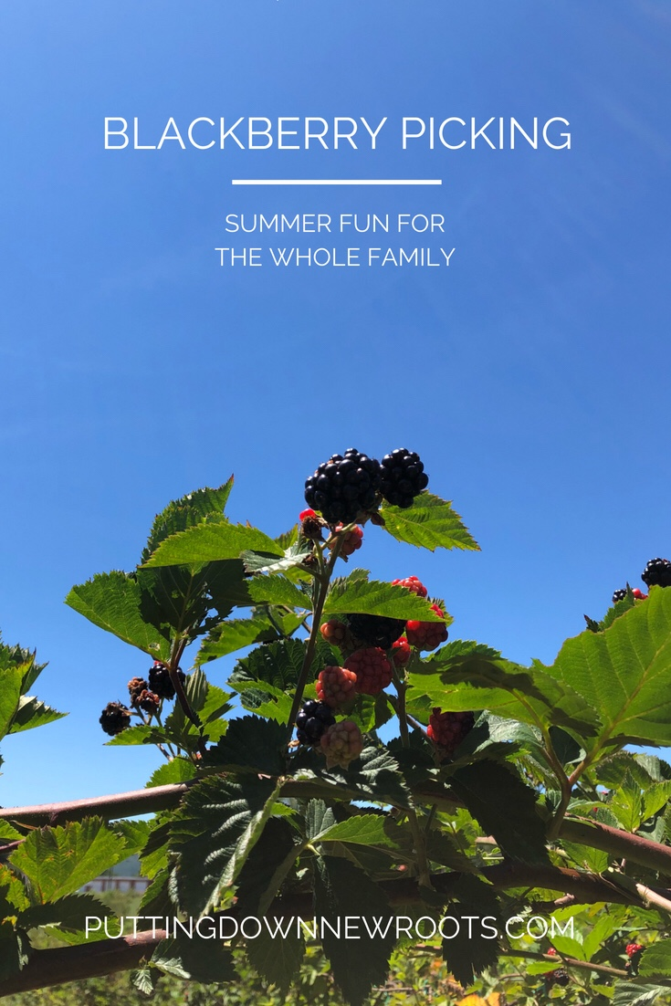 Blackberry picking at a local farm is summer fun for the whole family